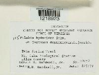 Image of Phlebia hydnoidea