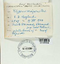 Polyporus versiporus image