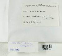 Oxyporus obducens image