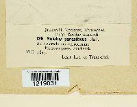 Pseudoboletus parasiticus image