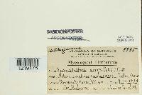 Sporisorium sorghi image