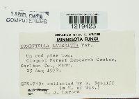 Image of Tomentella lateritia