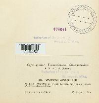 Tricholoma acerbum image