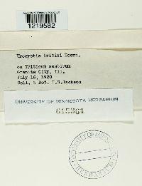 Urocystis tritici image