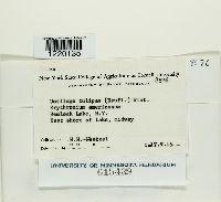 Ustilago tulipae image