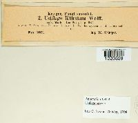 Microbotryum stygium image