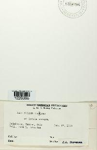 Achrotelium lucumae image