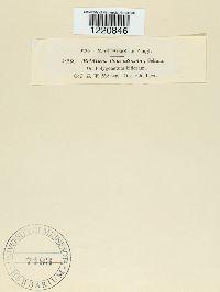 Aecidium convalariae image
