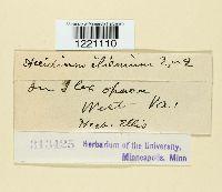 Image of Aecidium ilicinum