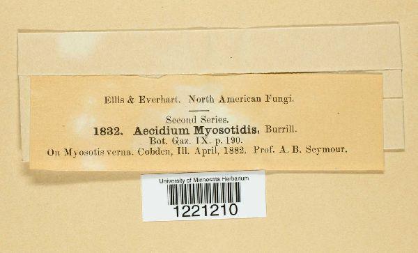 Aecidium myosotidis image