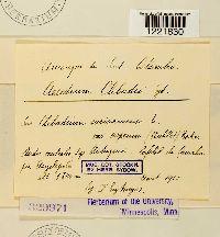 Aecidium clibadii image