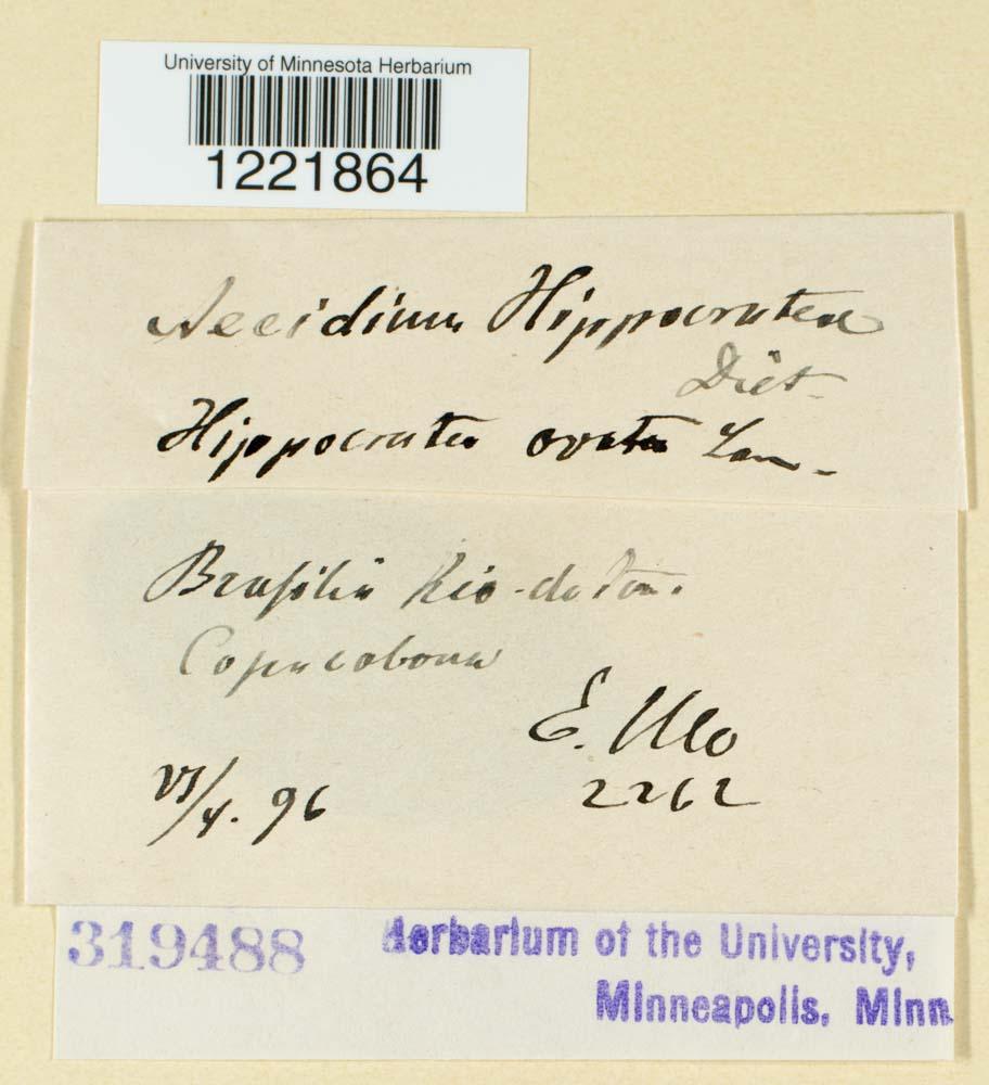 Aecidium hippocrateae image
