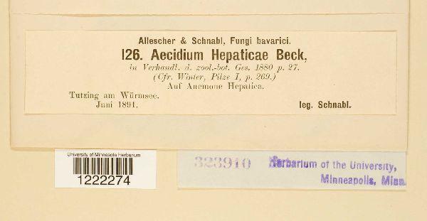 Aecidium hepaticae image