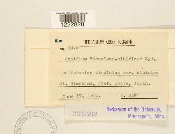 Aecidium veronicae-sibiricae image