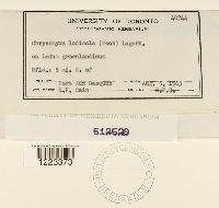Chrysomyxa ledicola image