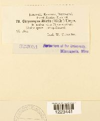 Chrysomyxa abietis image