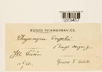 Chrysomyxa empetri image