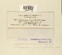 Coleosporium jonesii image