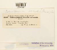 Coleosporium tussilaginis image