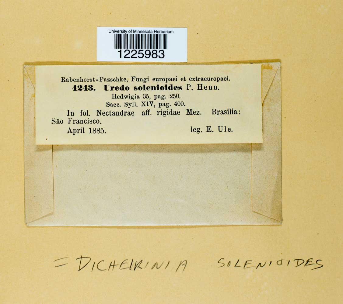Dicheirinia solenioides image