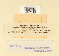 Endophyllum sedi image
