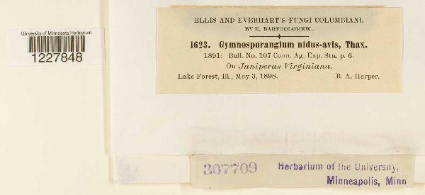 Gymnosporangium nidus-avis image