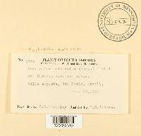 Kuehneola malvicola image