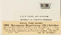Melampsora hypericorum image