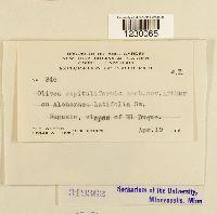 Olivea capituliformis image