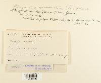 Phragmidium mucronatum image