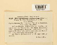 Phragmidium violaceum image