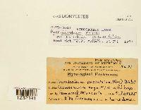 Pucciniastrum epilobii image