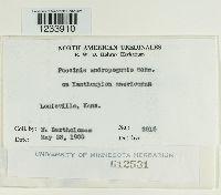 Puccinia calcitrapae image