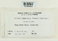 Puccinia pimpinellae image