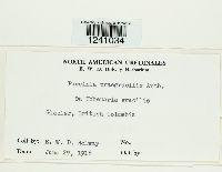 Puccinia praegracilis image