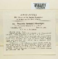 Puccinia hieracii var. hieracii image
