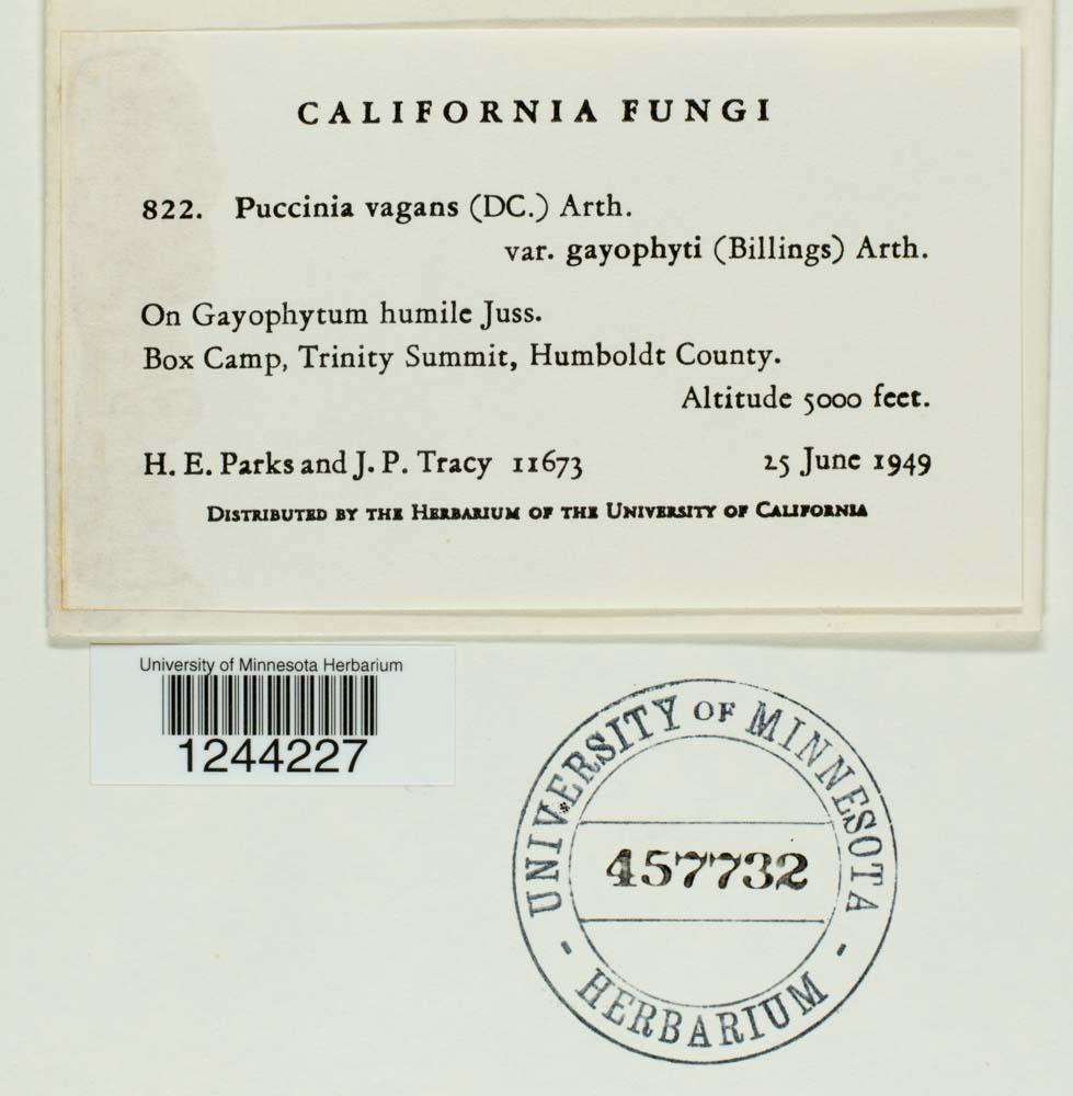 Puccinia vagans var. gayophyti image