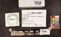 Sebacina sparassoidea image