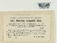 Puccinia aegopodii image
