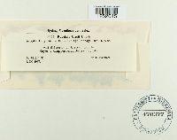 Puccinia cirsii image