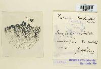 Image of Puccinia burchardiae