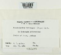 Pucciniastrum hydrangeae image