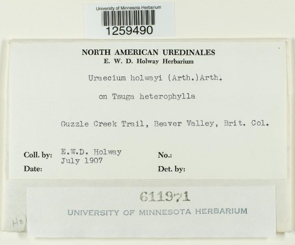 Uraecium holwayi image