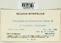 Uredinopsis struthiopteridis image