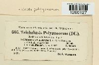 Uredo polygonorum image