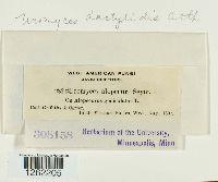 Uromyces dactylidis image