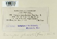 Uromyces appendiculatus image