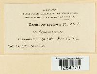 Uromyces sophorae image