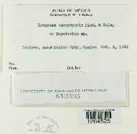 Uromyces aegopogonis image