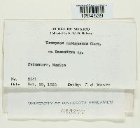 Uromyces antiguanus image